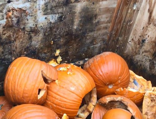 Swapping Pumpkins: Behind the Scenes of Great Pumpkin LumiNights