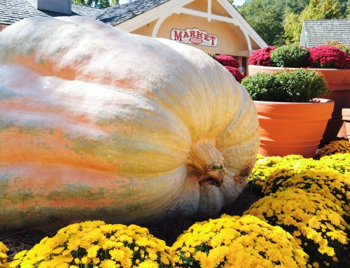 All You Want to Know About Dollywood's Colossal Pumpkins